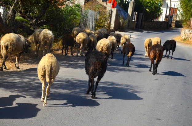 Sheep crossing the road in the Mani Peninsula.